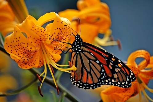 Monarch & lilies